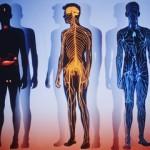 Сведения из анатомии ССС